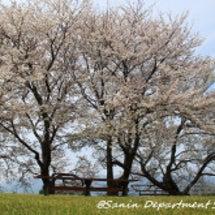 大塚山公園の桜【島根…