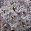 近所の桜2013