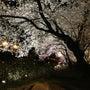 足羽川沿いの綺麗な桜…