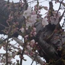 鳥屋野潟沿いの桜は今…