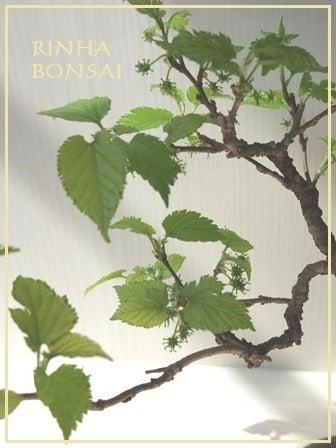 bonsai life      -盆栽のある暮らし- 東京の盆栽教室 琳葉(りんは)盆栽 RINHA BONSAI-モダン盆栽 琳葉盆栽 桑2