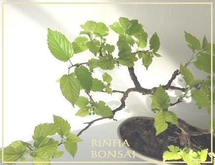 bonsai life      -盆栽のある暮らし- 東京の盆栽教室 琳葉(りんは)盆栽 RINHA BONSAI-モダン盆栽 琳葉盆栽 桑