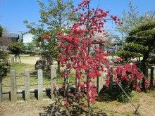 赤と黒-首途八幡宮 桜②