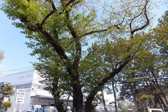 自転車の 車 自転車 時間差 : は 桜 の 木 に よって 時間 差 ...