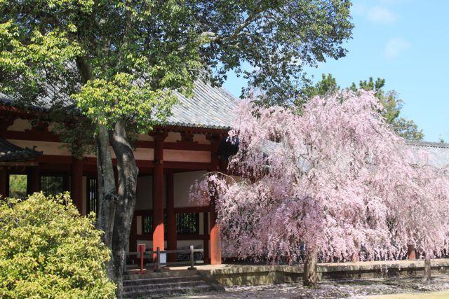 プロヴァンス発 南フランス暮らし365日-桜