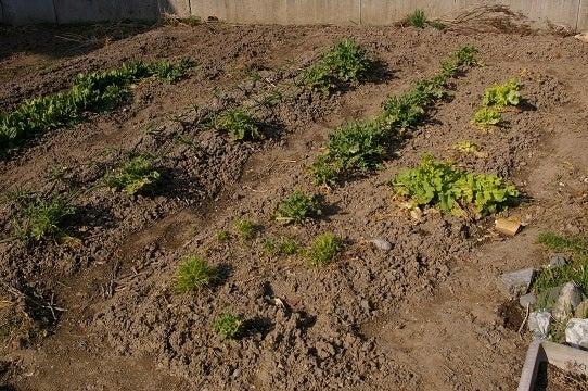 けいとだまのド素人家庭菜園  2013