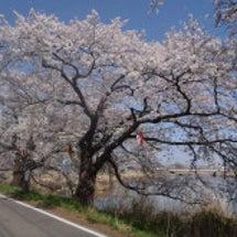 鳥屋野潟の桜は今…♪