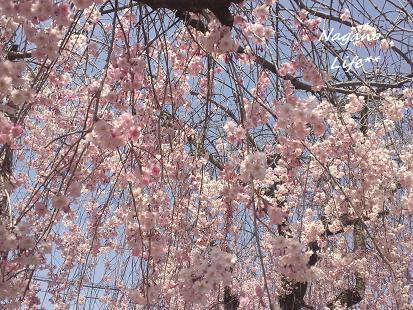 Nagano Life**-さくら