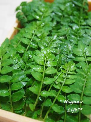 Nagano Life**-木の芽