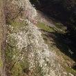 豊田のしだれ桜♪