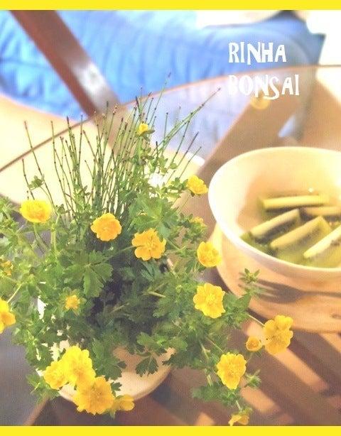 bonsai life      -盆栽のある暮らし- 東京の盆栽教室 琳葉(りんは)盆栽 RINHA BONSAI-琳葉盆栽モダンアカネキンバイソウ ヒメトクサ
