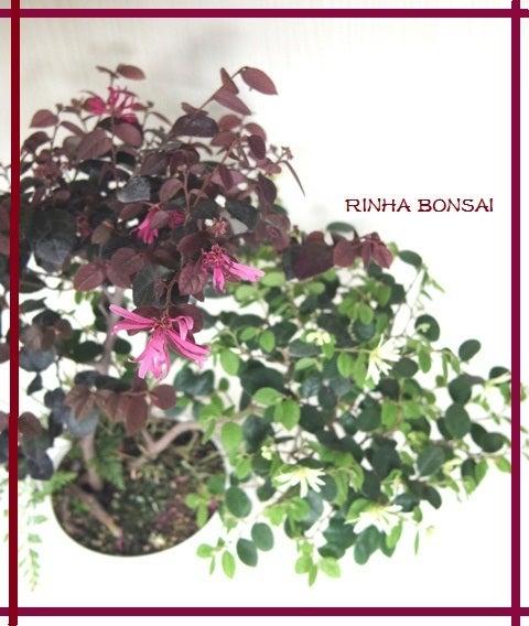 bonsai life      -盆栽のある暮らし- 東京の盆栽教室 琳葉(りんは)盆栽 RINHA BONSAI-琳葉盆栽 モダン マンサク