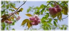 毎日はっぴぃ気分☆-八重桜