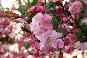 4月20日の誕生花、カイドウ