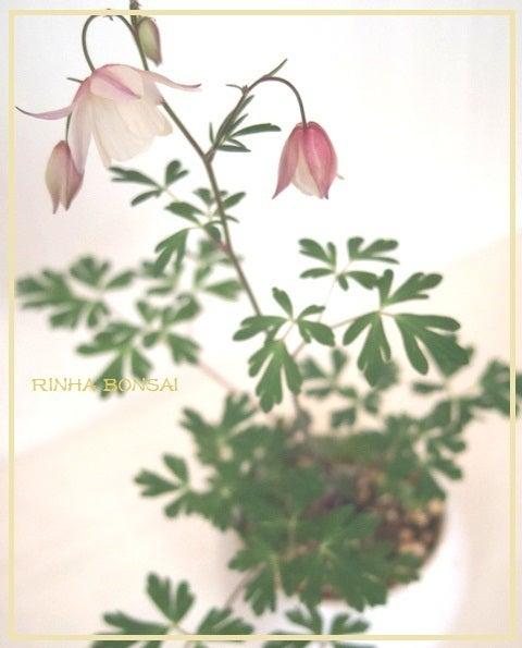 bonsai life      -盆栽のある暮らし- 東京の盆栽教室 琳葉(りんは)盆栽 RINHA BONSAI-琳葉盆栽 フウリンオダマキ