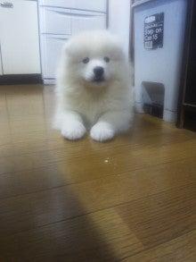 サモエド犬ラッキーのらき日記-DVC00186.jpg
