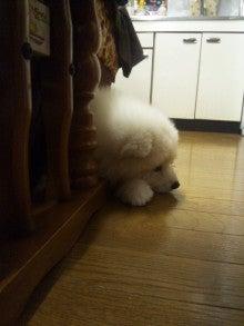 サモエド犬ラッキーのらき日記-DVC00189.jpg