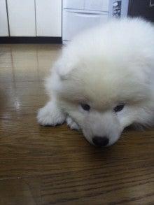 サモエド犬ラッキーのらき日記-DVC00195.jpg