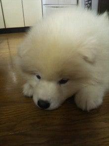 サモエド犬ラッキーのらき日記-DVC00192.jpg