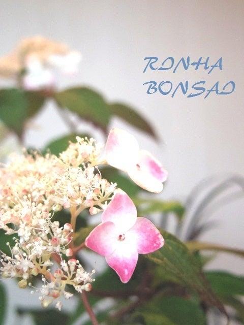 bonsai life      -盆栽のある暮らし- 東京の盆栽教室 琳葉(りんは)盆栽 RINHA BONSAI-琳葉盆栽 ヤマアジサイ 紅 2