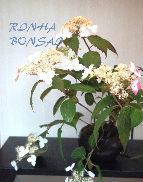 bonsai life      -盆栽のある暮らし- 東京の盆栽教室 琳葉(りんは)盆栽 RINHA BONSAI-琳葉盆栽 ヤマアジサイ 紅