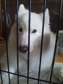 サモエド犬ラッキーのらき日記-DVC00194.jpg