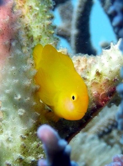 西表島ダイビング あべちゃん海ブログ  「にこにこダイビング」-キイロサンゴハゼ