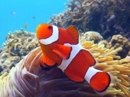西表島ダイビング あべちゃん海ブログ  「にこにこダイビング」-ニモ