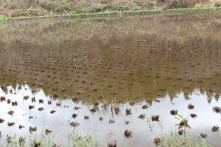 いのち めぐる たんぼ   トキを呼ぶ田んぼ 不耕起 自然栽培でお米作っています