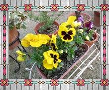 Bred Basket-黄色パンジー