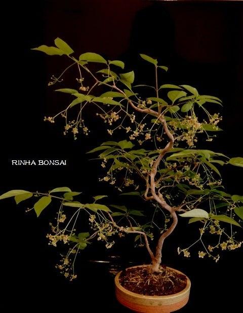 bonsai life      -盆栽のある暮らし- 東京の盆栽教室 琳葉(りんは)盆栽 RINHA BONSAI-琳葉盆栽 ツリバナ モダン