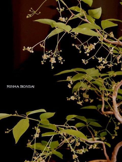bonsai life      -盆栽のある暮らし- 東京の盆栽教室 琳葉(りんは)盆栽 RINHA BONSAI-琳葉盆栽 ツリバナ モダン2