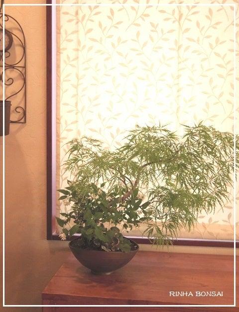 bonsai life      -盆栽のある暮らし- 東京の盆栽教室 琳葉(りんは)盆栽 RINHA BONSAI-琳葉盆栽 RINHA モダン シダレモミジ