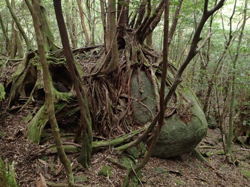 歩き人ふみの徒歩世界旅行 日本・台湾編-岩の上の木
