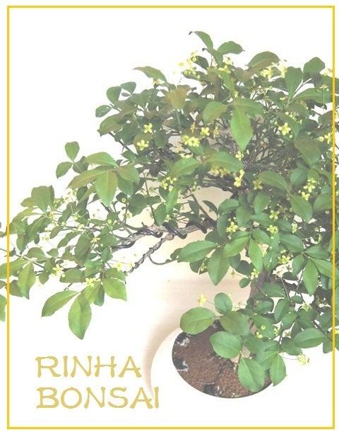 bonsai life      -盆栽のある暮らし- 東京の盆栽教室 琳葉(りんは)盆栽 RINHA BONSAI-琳葉盆栽 コマユミ モダン