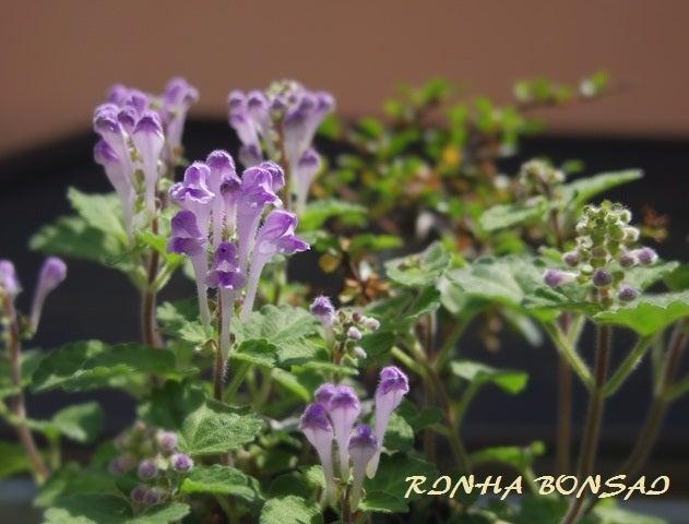 bonsai life      -盆栽のある暮らし- 東京の盆栽教室 琳葉(りんは)盆栽 RINHA BONSAI-琳葉盆栽 タツナミソウ モダン