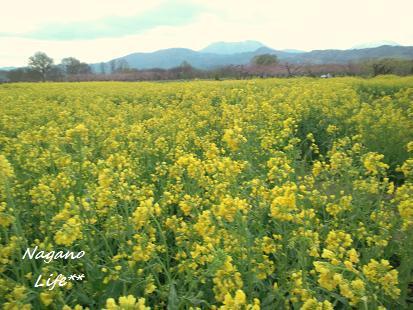 Nagano Life**-菜の花