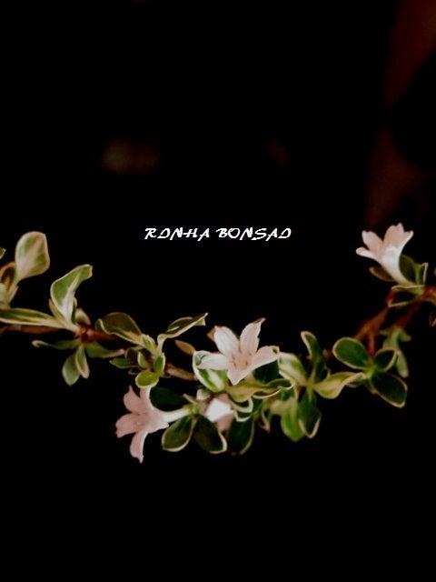 bonsai life      -盆栽のある暮らし- 東京の盆栽教室 琳葉(りんは)盆栽 RINHA BONSAI-ハクチョウゲ 琳葉盆栽 モダン 2