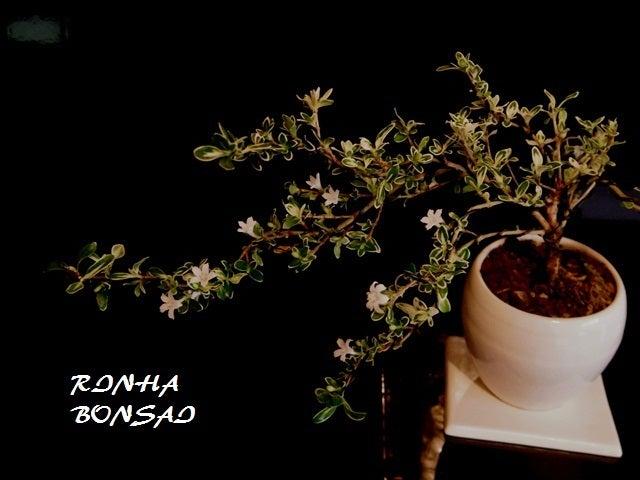 bonsai life      -盆栽のある暮らし- 東京の盆栽教室 琳葉(りんは)盆栽 RINHA BONSAI-ハクチョウゲ 琳葉盆栽 モダン
