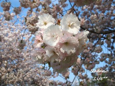 Nagano Life**-八重桜