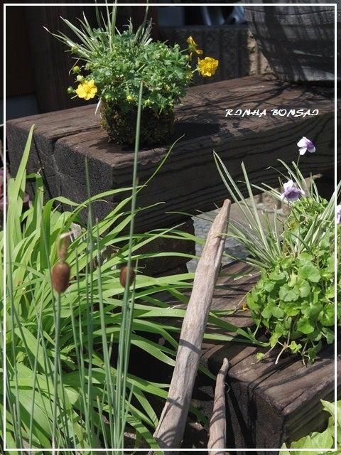 bonsai life      -盆栽のある暮らし- 東京の盆栽教室 琳葉(りんは)盆栽 RINHA BONSAI-ヒメガマ 水鉢 琳葉盆栽 モダン