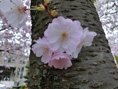 桜の思ひ出3