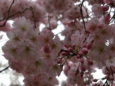 桜の思ひ出1