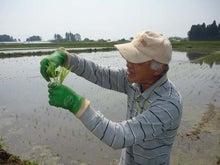 小島米店のブログ-稲の説明をする杉山さん