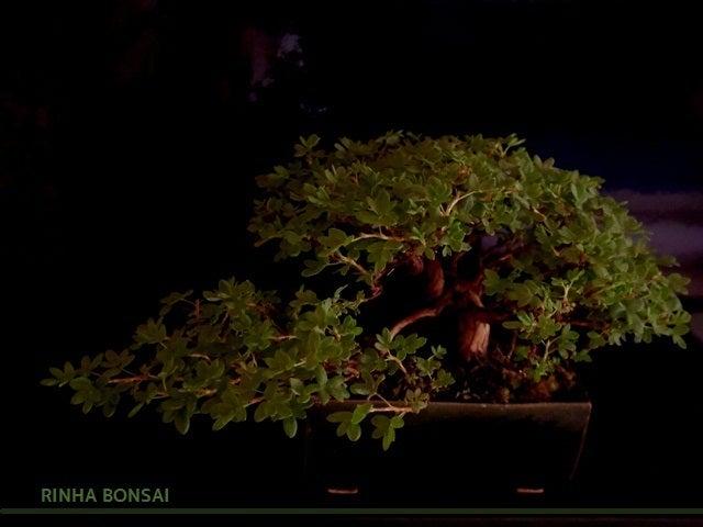 bonsai life      -盆栽のある暮らし- 東京の盆栽教室 琳葉(りんは)盆栽 RINHA BONSAI-キンロバイ金露梅 琳葉盆栽 モダン