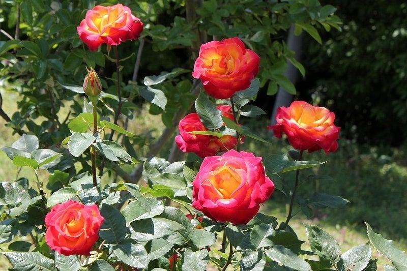特選街情報 NX-Station Blog-2色のバラ