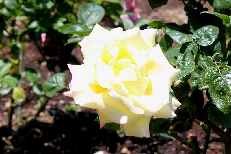 特選街情報 NX-Station Blog-黄色いバラ