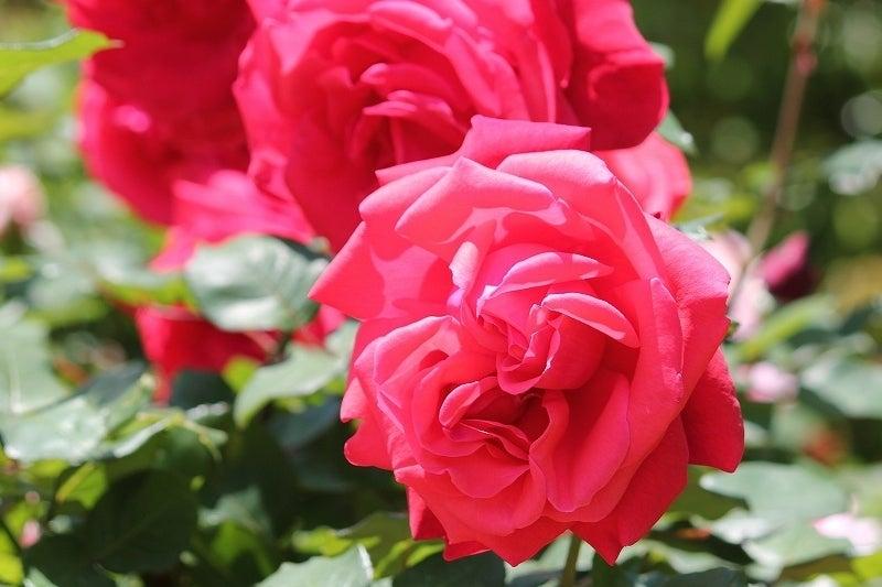 特選街情報 NX-Station Blog-見事な大輪の薔薇の花