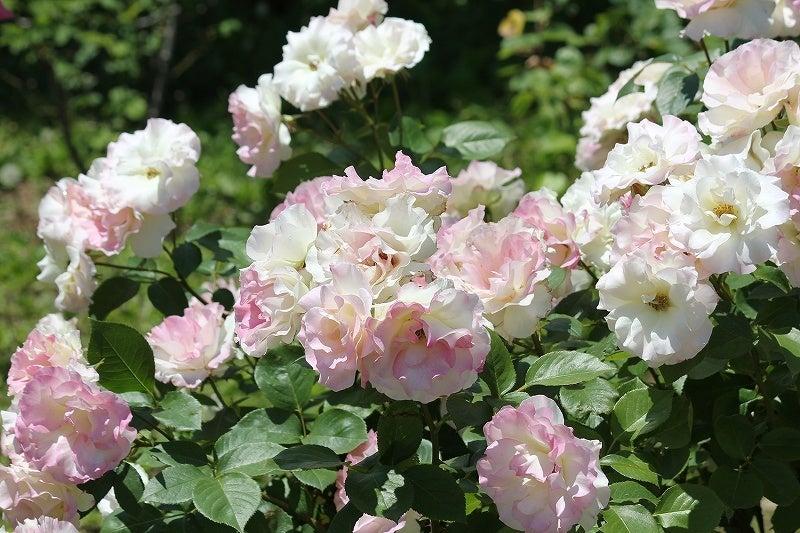 特選街情報 NX-Station Blog-咲きそろう薔薇