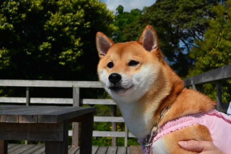 柴犬はなのブログ
